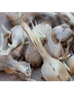 Pre Order - Saffron Corms (Crocus Sativus) 10 corms - Posted Dec 2019